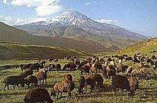 Flock of sheep on the southern foothills of Mount Damavand