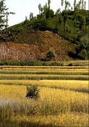 Rice and Tea Plantations